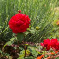 EPN Abbaye rose veil 2018
