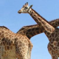 EPN Girafes mai 2108