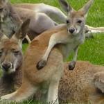 Parc australien narbonne kangourous