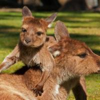 EPN Parc Australien Kangourous gris PH 1 18