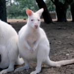 Parc australien narbonne kangourous blancs